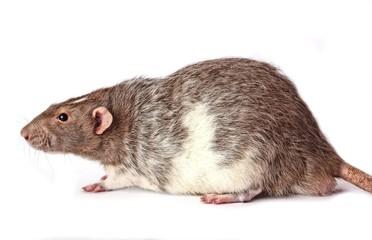 A Lovely Pet Agouti Rat