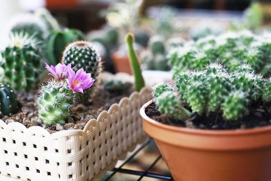cactus and home garden