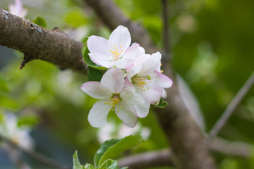 Pink and white apple blossom flowers on tree in springtime