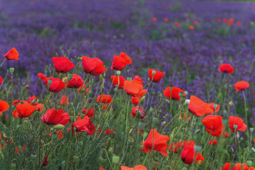 Red poppies on a violet background from salvia