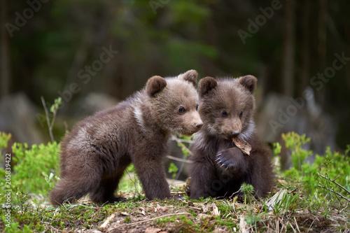 Wall mural Wild brown bear cub closeup