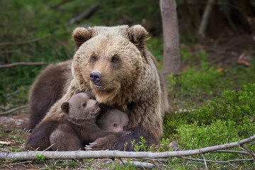 Wall Mural - Brown bear with cub in forest