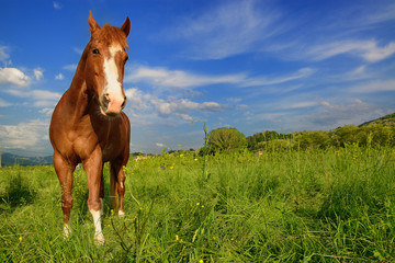Brown horse standing on the green meadow in Slovenia