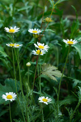 Camomile flower background. Fresh flowers of daisies in the garden. Bloom. Blooming field.