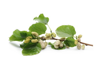 White mulberry fruit on twig with leaves and isolated on white background