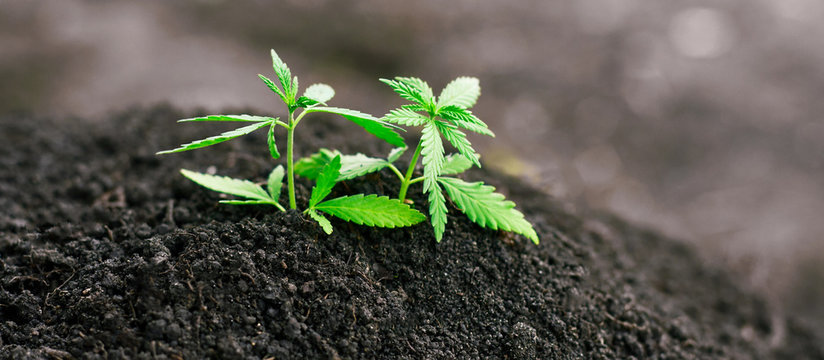 Green sprout of first spring early hemp sprouted from ground with small leaves of marijuana medicinal. Concept breeding of cannabis