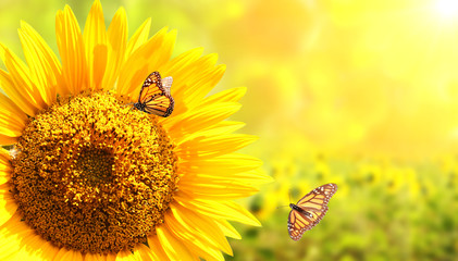 Fototapete - Sunflower and monarch butterflies on blurred sunny background