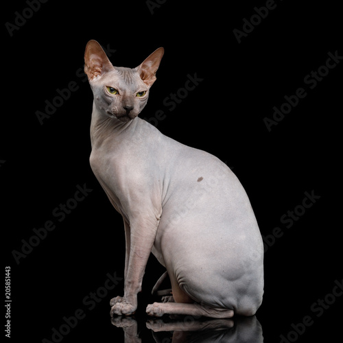 Angry Sphynx Cat Sitting Isolated on Black Background, front view