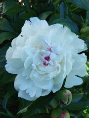 White peony in the garden