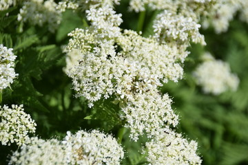 This Sweet Cicely (Myrrhis odorata),herbal medicine