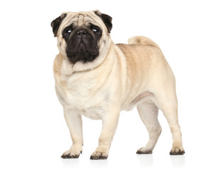 Wall Mural - Pug in stand on white background