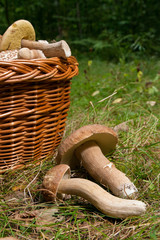 Several Porcini mushrooms (Boletus edulis, cep, penny bun, porcino or king bolete) and wicker basket on natural background..