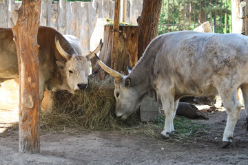 Hungarian steppe cattle eating dry hay in feeder