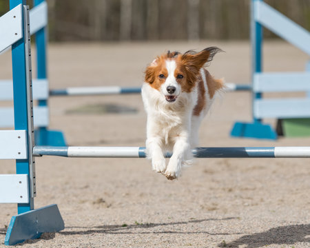 Dog agility in action. Kooikerhondje jumps over an agility hurdle in agility competition