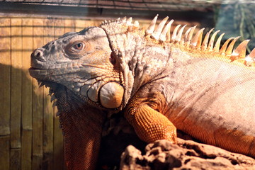Reptile chameleons and acres