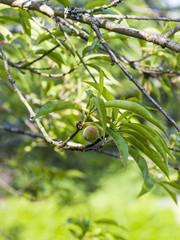 Pêche de vigne sur l'arbre