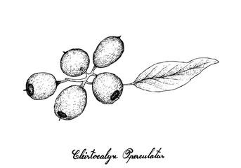 Hand Drawn of Cleistocalyx Operculatus Fruits on White Background