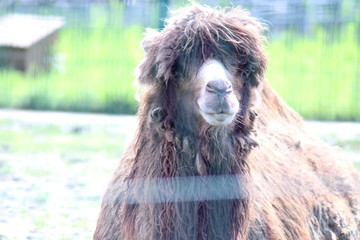 camel at the zoo