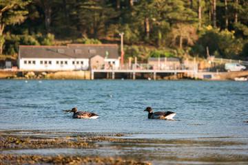 Bernaches à Arradon dans le Golfe du Morbihan
