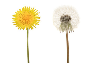 Two dandelion isolated on white background closeup