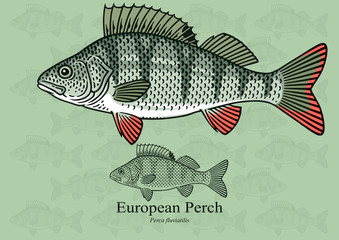 European Perch. Vector illustration with refined details and optimized stroke that allows the image to be used in small sizes (in packaging design, decoration, educational graphics, etc.)