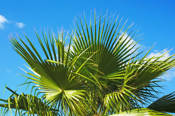 Green leaves of Washington palm on the background of a bright blue sky with white clouds