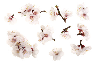 Branch with apricot flowers isolated on white background. Top view. Flat lay. Set or collection