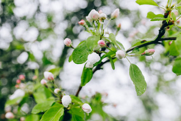 may blossoming apple trees