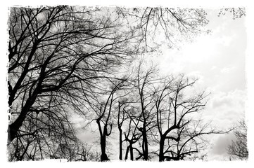Black and white bare trees with worn borders. Nature background.