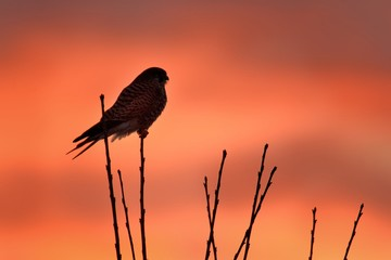 Eurasian Kestrel (Falco tinnunculus) sitting on the tree against the sunset. Colorful sunset background. Red and orange