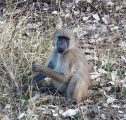 Young Baboon South Africa