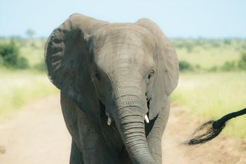 Closeup on baby elephant