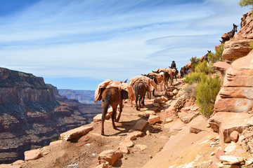 Deurstickers Canyon Mule pack train in Grand Canyon