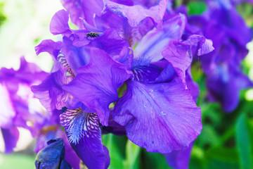 Irises blooming. Candid.