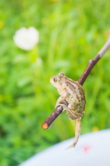The frog climbs on a stick. Candid.