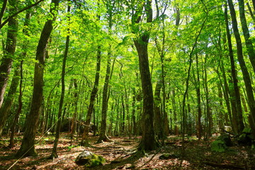 Oita's primary forest Kurotake