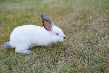 white little rabbit with red eyes and black nose playing outdoors