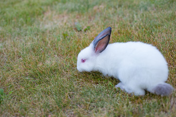 little rabbit with red eyes and black nose playing on grass outdoors