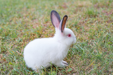 fluffy white rabbit with red eyes, playing on the green grass