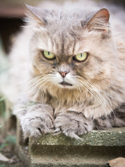 close up face and nose from beauty old female gray persian cat with long hair sit in garden with soft focus background