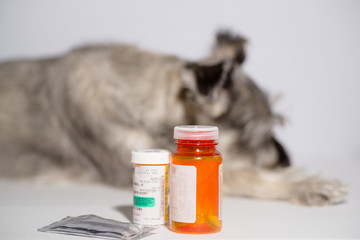 senior schnauzer dog isolated on white with medications, pills and topicals. Concept: ageing pets, veterinary healthcare