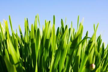 Green grass against blue sky, selective focus