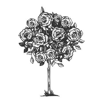 Rose bush engraving vector illustration