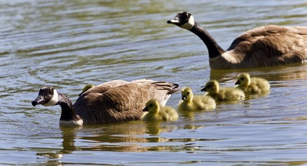 Image of a family of Canada geese swimming