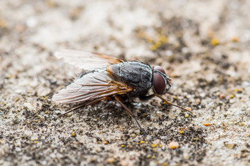 Diptera Meat Fly Insect On Rock