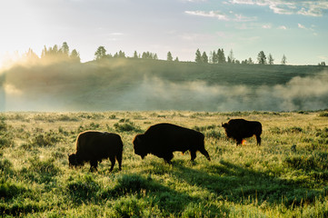Backlit images of a group of Bison in the Hayden Valley area of Yellowstone National Park