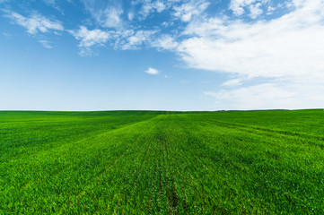 A green wheat field against a blue sky with clouds. Juicy Ful Color Green