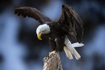 Bald Eagle (Haliaeetus leucocephalus) Cleared for Landing