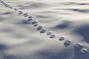 Traces of wild animal on the snow,  Cansiglio forest, Farra d'Alpago, Belluno province, Veneto, Italy