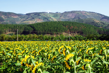 Field of sunflower on a background of mountains, gardens and greenhouses on a sunny summer day.